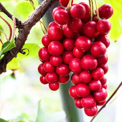 planta medicinal de bayas de para que sirve la schisandra
